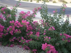 Bougainvillea livin' large in my brother's neighborhood near Phoenix. Credit: Dalia Colón.